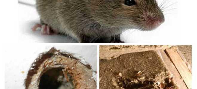 Живут ли мыши в пенопласте