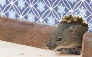 Едят ли мыши гипсокартон